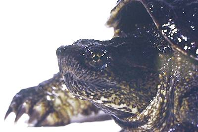 Common Snapping Turtle. Photo:David Green