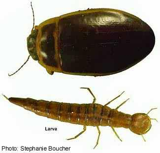 Large diving beetle (Dytiscus dauricus). Photo:Stephanie Boucher