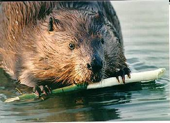 American Beaver. Photo:Peter Mirejovsky