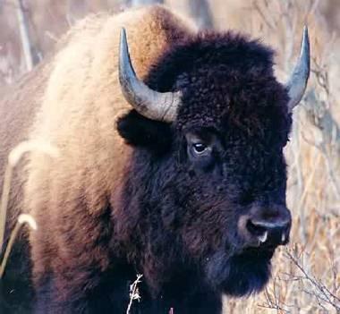external image bison.jpg